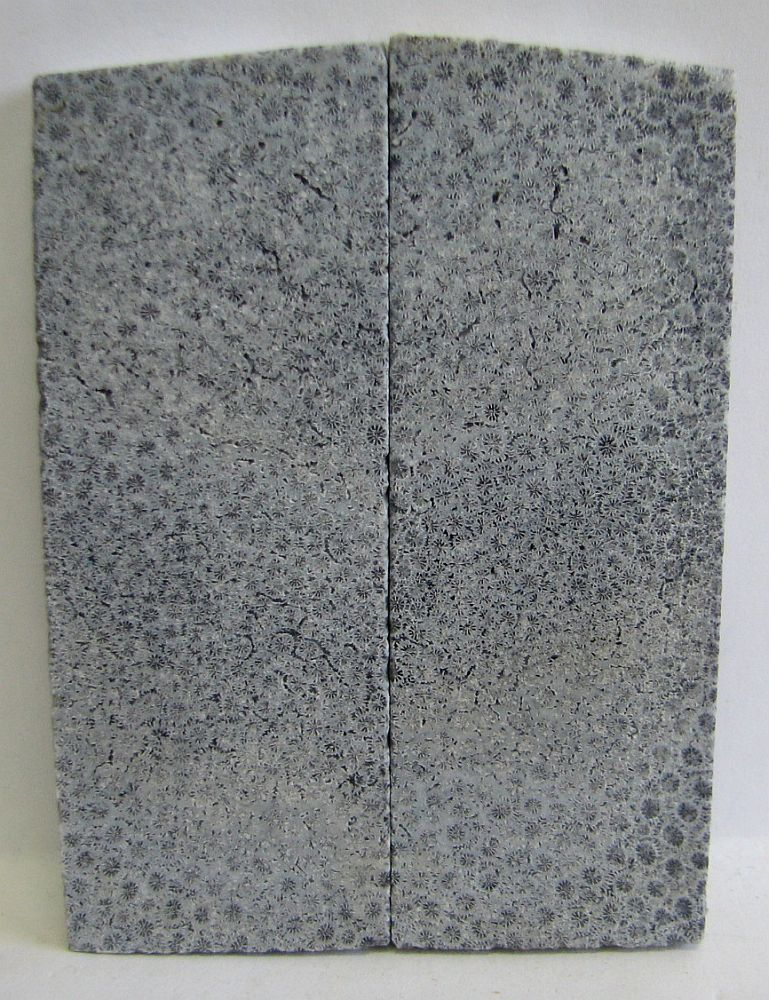 FOSSIL CORAL SCALES 4-1/4 x 1-1/2 to 1-5/8 x 5/16