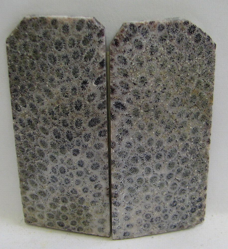 FOSSIL CORAL SCALES 2-3/4 x 1-3/16 to 1-1/4 x 1/8