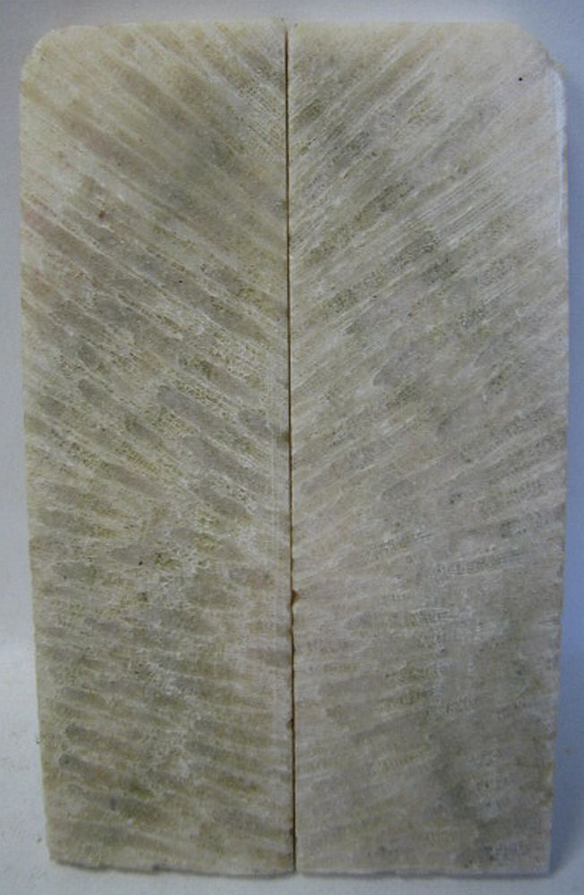 FOSSIL CORAL SCALES 3-7/8 x 1-1/4 x 3/16 to 7/32