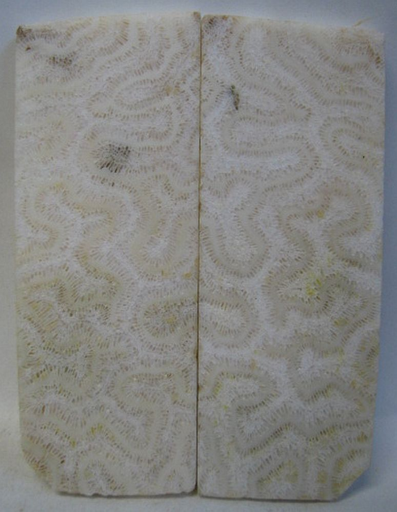 FOSSIL CORAL SCALES 4-1/8 x 1-9/16 x 7/32 to 1/4