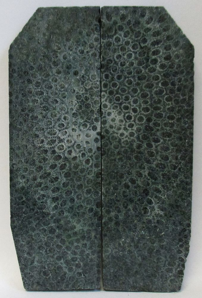FOSSIL CORAL SCALES 3-13/16 to 4-1/4 x 1-1/4 to 1-3/8 x 5/32 to 3/16