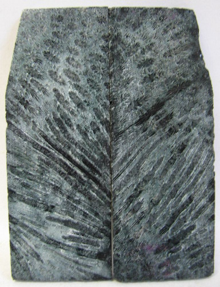 FOSSIL CORAL SCALES 3-3/8 x 1-1/16 to 1-5/16 x 5/32