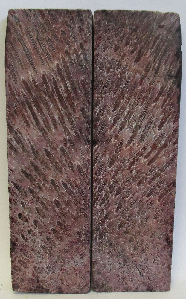 FOSSIL CORAL SCALES 4-13/16 x 1-3/8 to 1-1/2 x 1/4