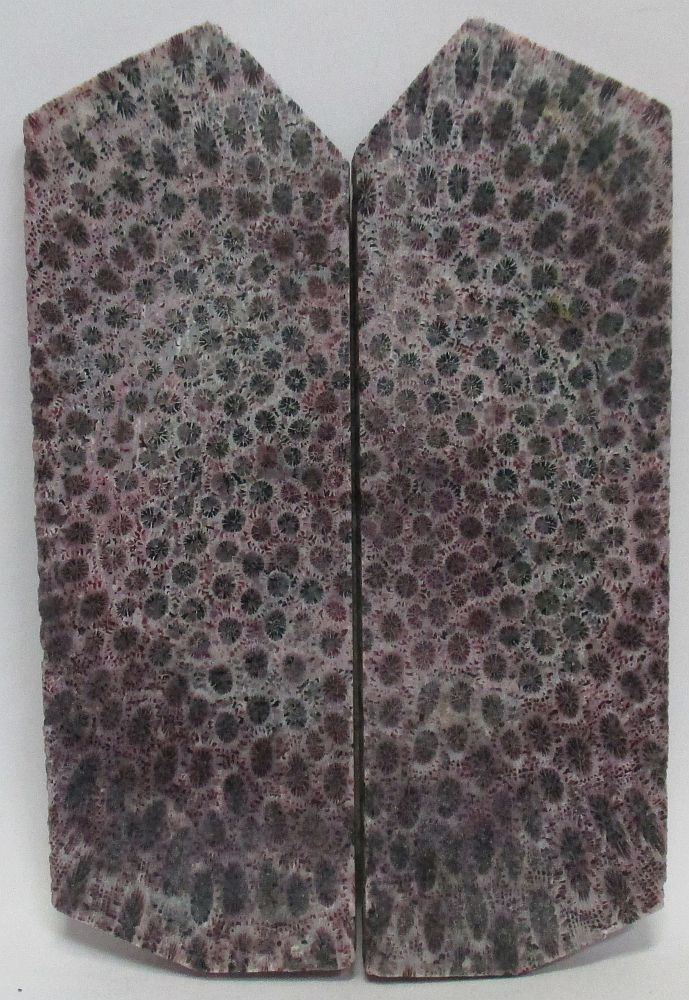 FOSSIL CORAL SCALES 3-5/8 to 3-7/8 x 1-5/16 x 5/32