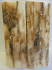 MAMMOTH IVORY SCALES 2-9/16 x 3/4 to 7/8 x 3/16